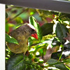 Young Northern Cardinal at Breakfast Window