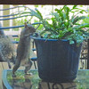 Squirrel Checking Even The Pots Out on Our Deck - Seen From Screened Porch<br /> I put dried mealworms in pots on the deck for the wrens and some of the squirrels have acquired a taste for them.