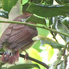 Baby Cardinal Tail Feathers Have a Long Way to Go
