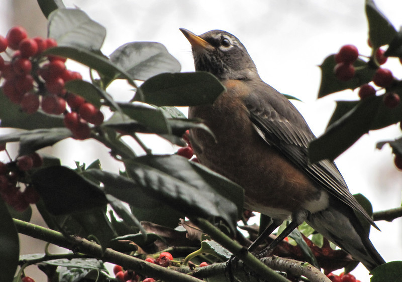 Flock of Robins on Ground and Holly Trees A Month Earlier Than Usual 1-17-12