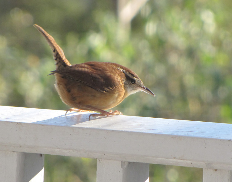 Wren on Front Porch - Love That Fancy Tail