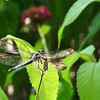 Dragonfly In the Family of Libellulidae - Possible Slaty Skimmer - Sunlight Makes the Wings Beautiful