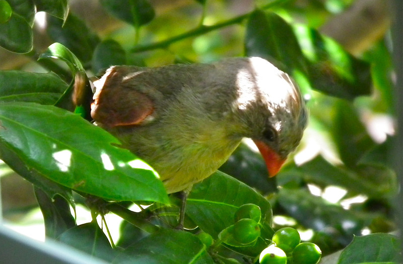 Young Northern Cardinal at Breakfast Window<br /> Seems she's wondering about those holly berries.