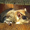 Sunlit Flying Squirrel in Bluebird House - First One We've Seen Here<br /> These flying squirrels usually nest in natural tree cavities or old woodpecker holes, 15-20 feet up a tree. These nests can hold either a single female or a maternal colony of several females and their young. Sometimes, flying squirrels will also build a summer leaf nest.