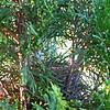 Finch Nest in Arborvitae at Randal's Office
