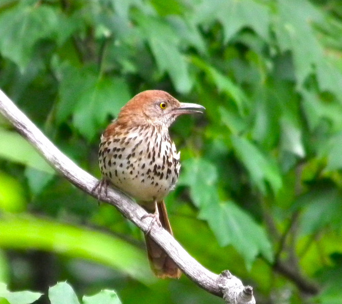 Brown Thrasher on Tree Limb