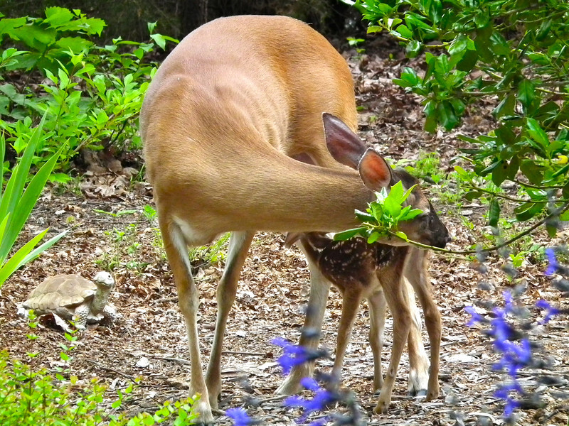 Newly Born Fawn Nursing While Mom Cleans It Up<br /> This is the first fawn a deer has delivered on our property that we've been able to see.  What a magnificent and wonderful thought and record for our wildlife habitat.
