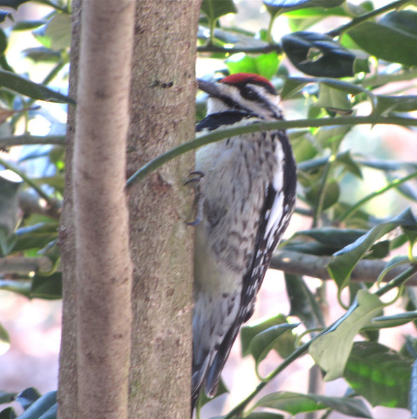 Yellow-bellied Sapsucker on Holly Tree