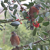 Two Robins in the Holly Tree