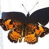 Silvery Checkerspot Butterfly on Vinyl Railing