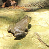 Young Female Bullfrog