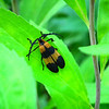 Banded Net-winged Beetle - Good Bug
