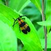 Banded Net-winged Beetle - Good Bug