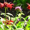 Hummingbird in Front Flower Garden