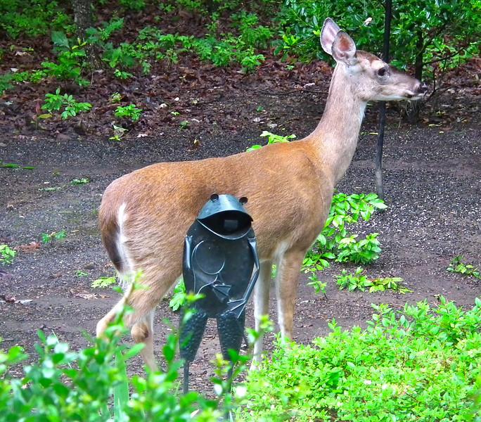 Deer Passing Our Garden Frog