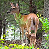 Mom and Newly Born Fawn in Front Yard
