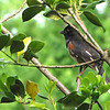 Rufous-sided Towhee at Front Porch