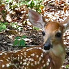 "This Fawn Says, ""I'm All Ears"" - Beautiful Deer!"