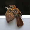 Baby Carolina Wren on Deck Rail