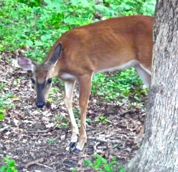 Our Little Deer With The Injured Front Right Leg<br /> Months ago it just dangled and was of no use.  We've been praying for it to heal so the deer can survive.  Looks like it has.