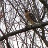 Red-shouldered Hawk Awaiting Return of Mate