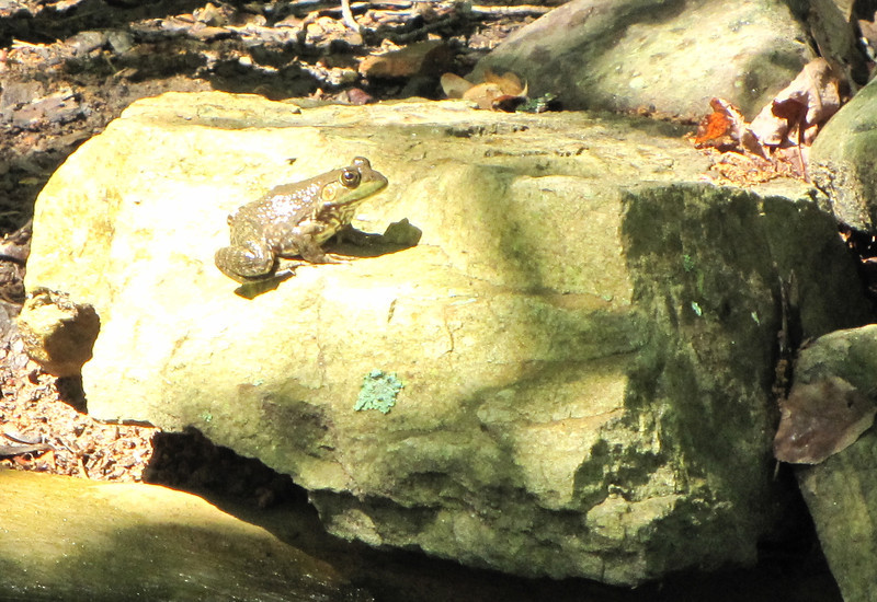 Young Female Bullfrog