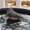 Tufted Titmouse Bathing 1-17-12