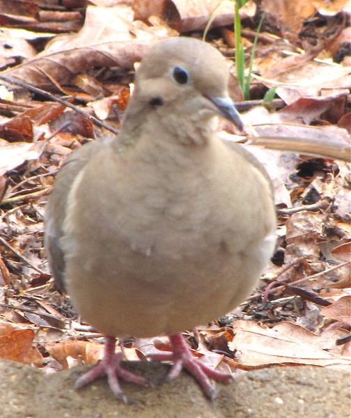 Mourning Dove Between the Front Porch Rails