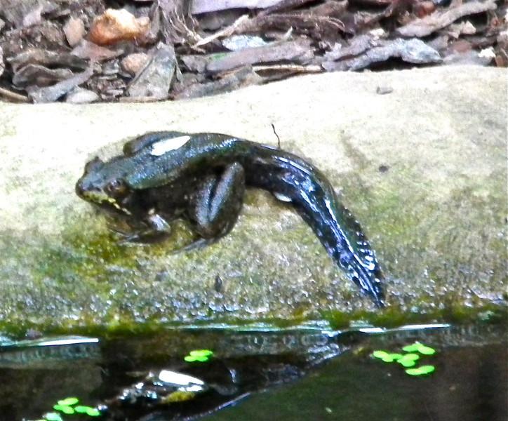 Baby Bullfrog Still Has Tadpole Tail