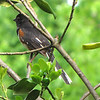Back View of Rufous-sided Towhee at Front Porch