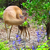 Newly Born Fawn Nursing While Mom Cleans It Up
