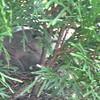 Mama House Finch on Nest Outside Office Window