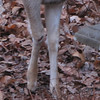Deer With Injured Leg