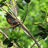 Rufous-sided Towhee Singing His Heart Out