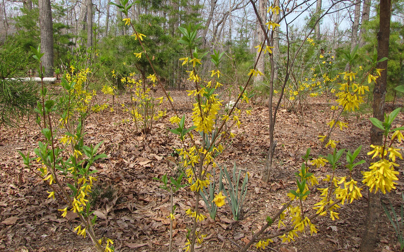 Best Year For The Forsythias - The Deer Didn't Prune Them All Winter