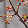 Maple Tree Flowers in Mid-March