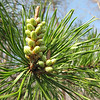 Longleaf Pine with Sprouting New Growth