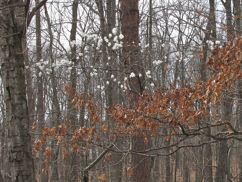 Winter and Spring - The Dead Leaves of the Oak Contrast the Blooms of the Serviceberry