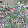 Hellebores - Soft Rose Color