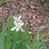 White Irises Beginning to Bloom