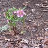 Hellebores Blooming  2-23-12