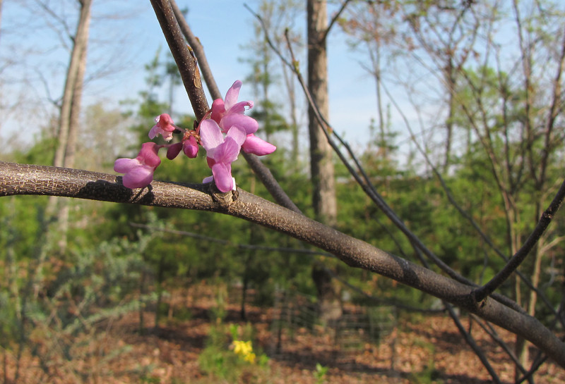 "Mr. Bud, Our Pampered Redbud Tree, Is Blooming - The Deer Tried For Years to Eat Him Up and We Prevailed.  Read the story behind this tree:  <a href=""http://bit.ly/1Nt3roS""><b>Mr. Bud Survives the Crime</b></a>."