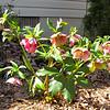 Hellebores Blooming