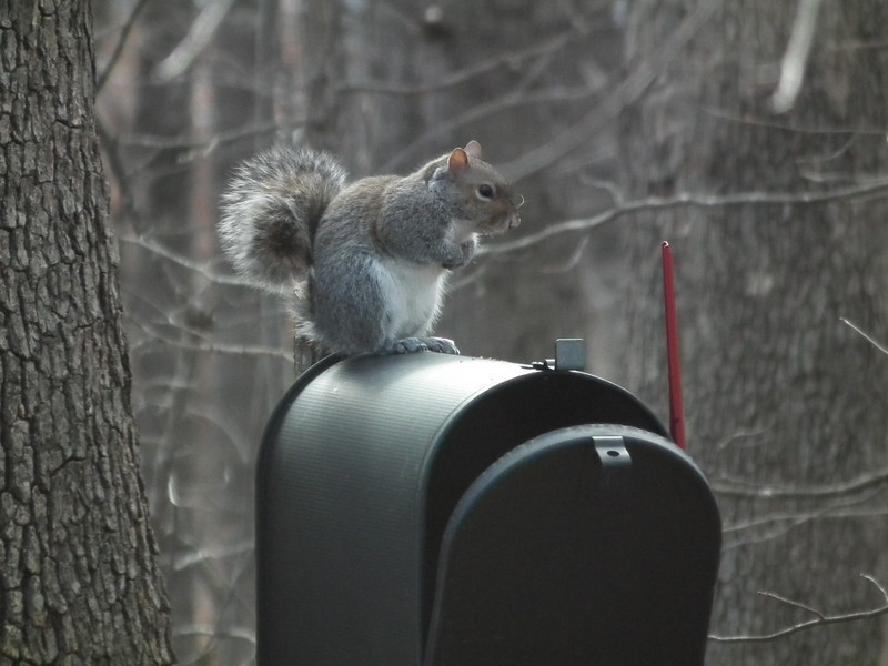 "Squirrel Waiting for the Postman<br /> Oh, Mister Postman, look and see … is there a letter, a letter for me?""  Our ""old"" mailbox painted and placed in the backyard for whomever wants to nest in it."