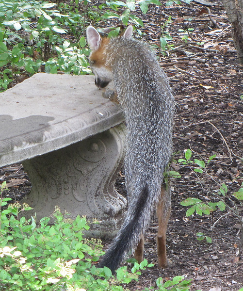 Gray Fox Looking For Food on Garden Bench<br /> We often put cracked corn there for the squirrels so he may be a frequent visitor.