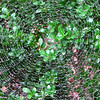 Spider in Web After Rainfall - On Compact Holly Bush