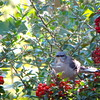 Mockingbird on Thorn Berry Bush (Pyracantha) Eating Berries