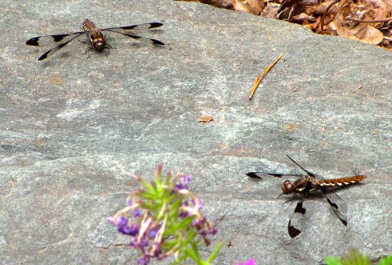 Two Female Whitetail Dragonflies on Rock