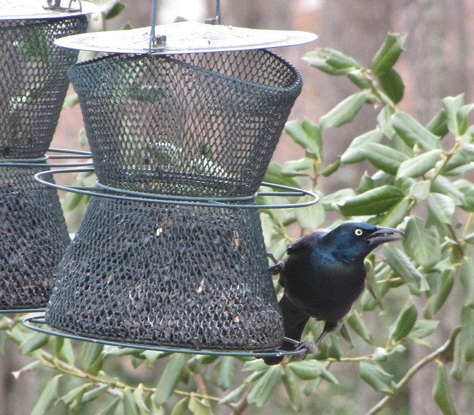 Common Grackle Migrating Through - It's Soon Spring!<br /> Most folks don't like grackles since they feed heavily and chase birds from feeders.  We have enough feeders here for everybody and they seem to be more socialable here in the woods.