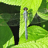 "Male Eastern Pondhawk Dragonfly (Erythemis simplicicollis) First sighting here at Bluebird Cove.  Had seen one before at <a href=""http://donnawatkins.smugmug.com/Travel/Georgia/Augusta-GA-Phinizy-Swamp"">Phinizy Swamp Nature Park</a>, Augusta, GA.  <a href=""http://donnawatkins.smugmug.com/Travel/Florida/Ellel-Ministries-144-Acre/12264214_cZ6j64#!i=874467629&k=hvJ2JKp&lb=1&s=XL"">View a female</a>."